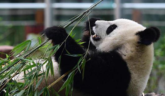 """大熊猫""""姐妹花""""安然度暑"""