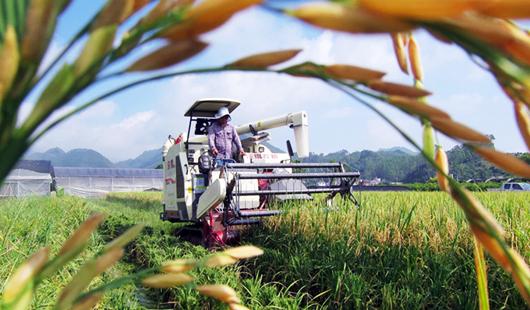 龙海市顶�叶村:稻田金黄 水稻看重收割忙