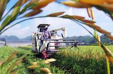 龙海市顶叶村:稻田金黄 水稻收割忙