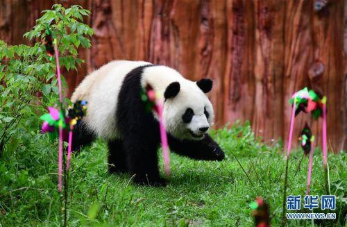 """大熊猫""""初心""""在东北虎园熊猫馆迎3岁生日"""