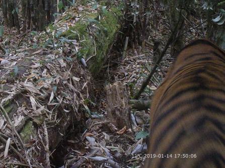 墨脱县境内安放48台红外相机 首次拍到孟加拉虎