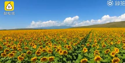 新疆伊犁六万亩向日葵开放 国内外游客纷至沓来