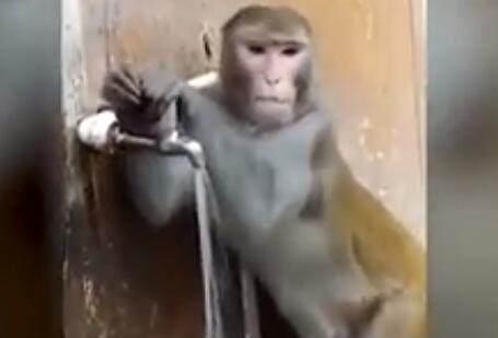 猴子喝完水擰龍頭怎么回事? 猴子喝完水擰龍頭網絡爆紅