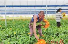 三明�i王宁化县:发挥区位优�色微�势 打造花卉基地