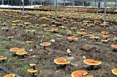 """福建松溪:农民种植食用菌创业 撑起""""致富伞"""""""