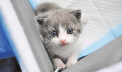 国内首只商业化克隆猫即将满月了,报价25万元