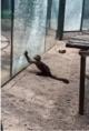 动物园猴子砸玻璃怎么回事详细经过 动物园猴子砸玻璃现场图