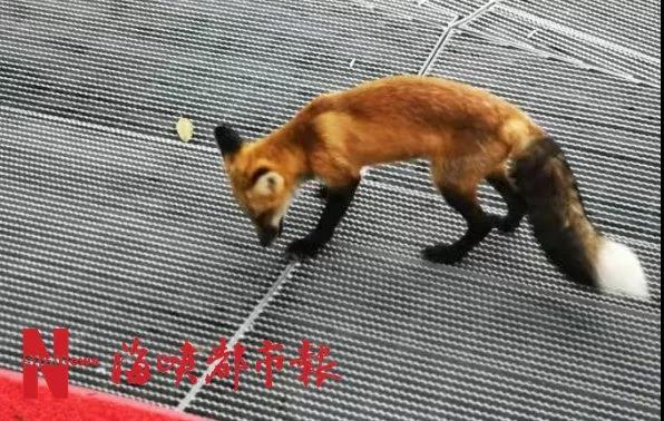 福州福道惊现两只狐狸!还不怕人