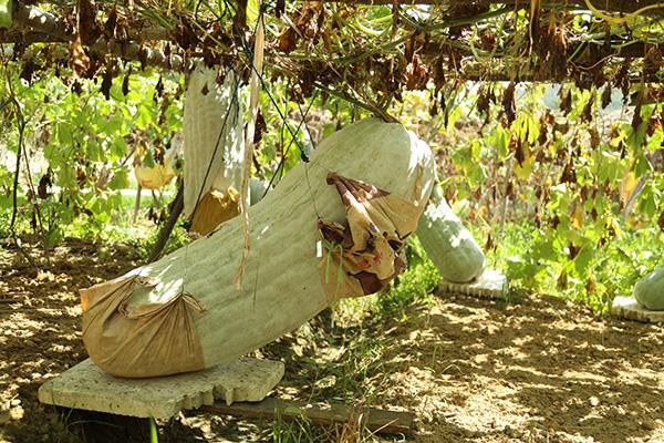南平松溪:巨型冬瓜喜获丰收 瓜王重达297斤