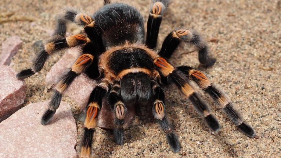香蕉里有巨型蜘蛛怎么回事 香蕉里有巨型蜘蛛圖片曝光太嚇人
