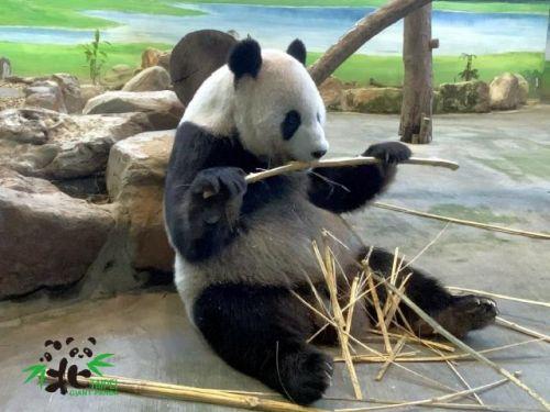 陆地赠台大熊猫圆圆满15夏照片 熊猫团团圆圆满15夏生日蛋糕曝光
