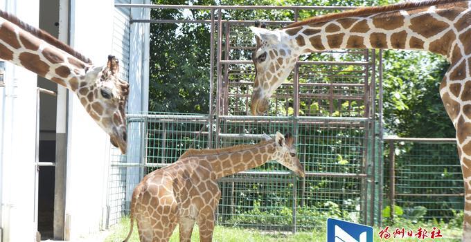出生刚满月身高一米八 福州市动物园首次成功繁殖长颈鹿