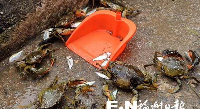 探访琅岐红蟳养殖基地:饵料丰盛个头大 饲养讲究水域佳