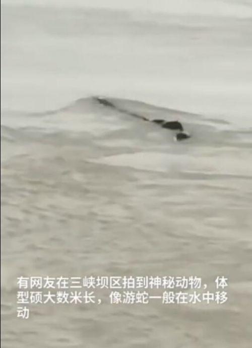 三峽壩區神秘動物是什么?三峽壩區神秘動物圖片照片曝光長什么樣