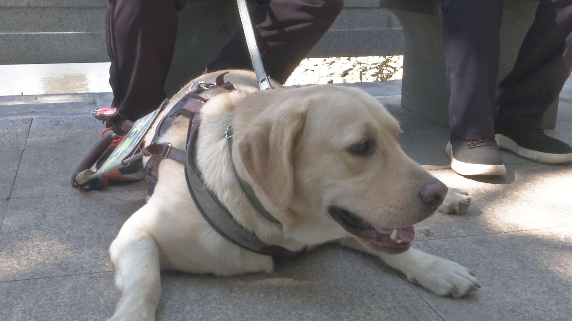 你是我的眼!福州首只导盲犬带视障人士乘坐公交