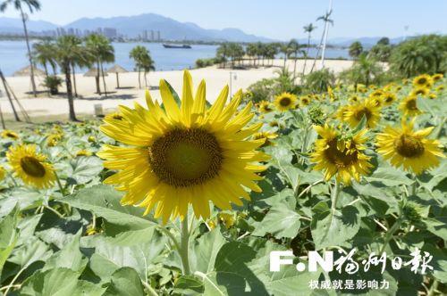 福州沙滩公园向日葵盛开迎国庆