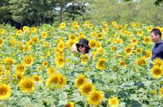 福州花海公園3.5萬平方米向日葵盛放獻禮國慶