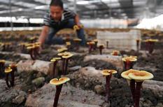 福建浦城:灵芝产业助推精准扶贫