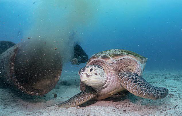 绿海龟可我�你�l�]以污水为食事件始末 绿海龟以污水为食水下图片曝光