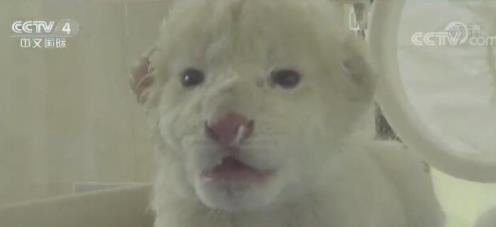 济南双胞胎白狮长什么样子?济南双胞胎白狮高清动图曝光实在太可爱了