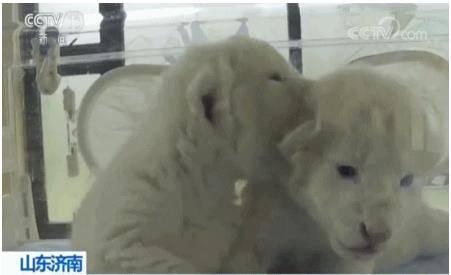 济南双胞胎白狮 比大熊猫还珍贵