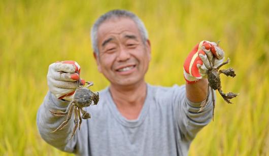 河北安次:一地雙收 稻香蟹肥