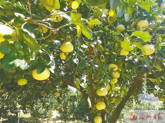 仙游加快文旦柚产业发展促乡村振兴