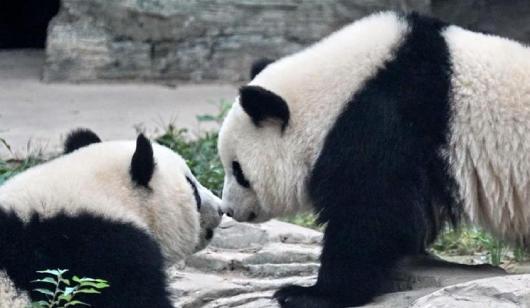 """雙胞胎大熊貓""""萌寶""""和""""萌玉""""落戶北京動物園"""