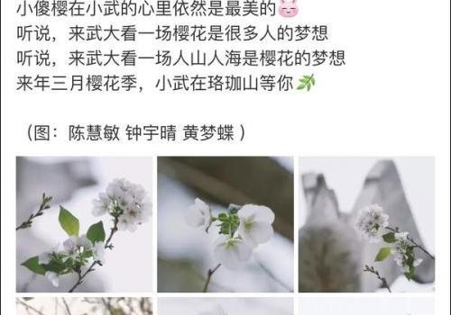 被天气搞晕的武大樱花是什么梗?武大樱花为什么又开了原因曝光