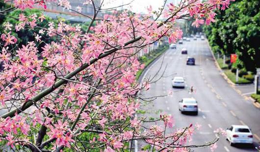 鹭岛之秋多彩浪漫 寻觅厦门街头的那些花儿