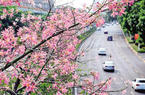 鷺島之秋多彩浪漫 尋覓廈門街頭的那些花兒