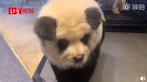 将狗染色成熊猫收费1500是真的吗将狗染色成熊猫后照片长什么