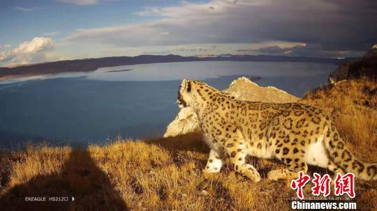 中国黄河源雪豹调查成果丰硕 捕获多组珍贵画面