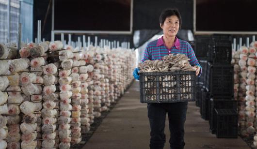永春五里街鎮:發展食用菌 助力鄉村振興