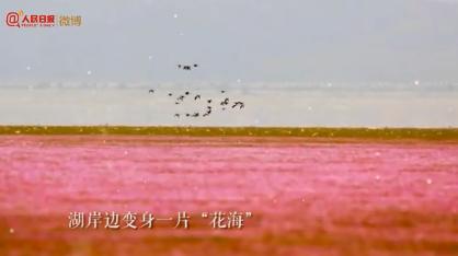鄱陽湖枯水期變身花海怎么回事?鄱陽湖枯水期變身花海圖片美輪美奐