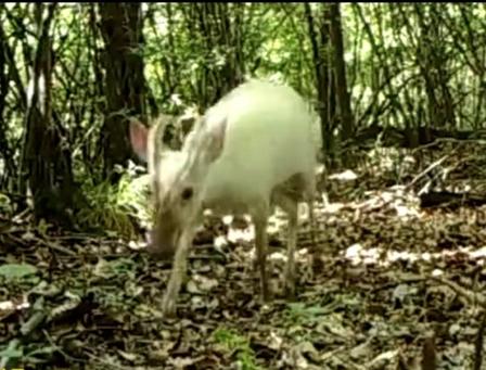 神农架罕见动物怎么回事神农架罕见动物长什么样照片曝光【图】
