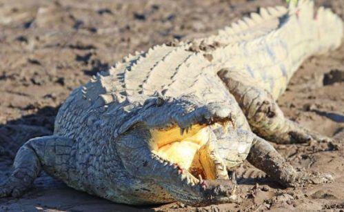 11岁女孩斗鳄鱼怎么回事 为了救朋友与一只鳄鱼展开搏斗