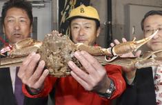 日本螃蟹500万怎么回事 日本一直螃蟹为何卖500万