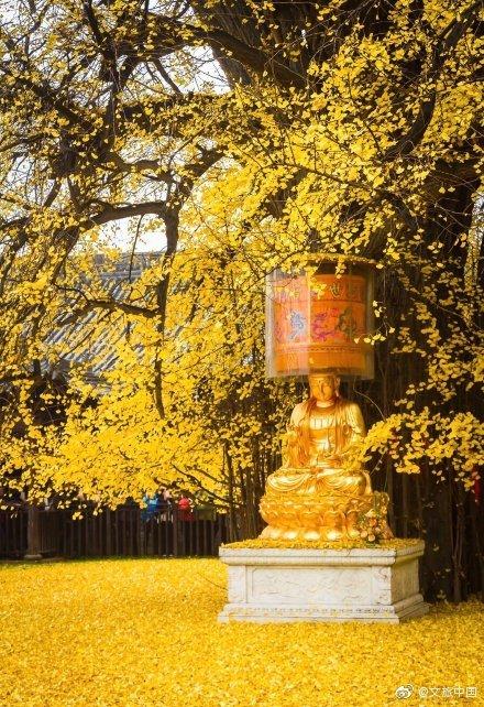 千年银杏火到国外具体什么情况 千年银杏在哪图片一览