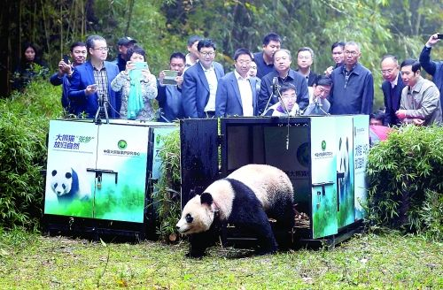 将大熊猫放归自然 不是打开笼子那么简单