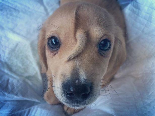 小奶狗前額長尾巴怎么回事 前額長著尾巴的小奶狗圖片分享