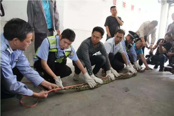 天花板掉下大蟒蛇現場圖曝光嚇死人 天花板為什么會掉下40斤大蟒蛇