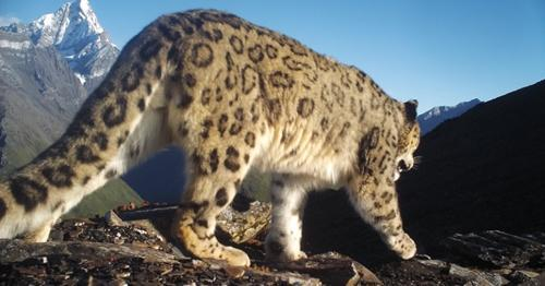 四姑娘山野生雪豹高清图片曝光 四姑娘山出现野生雪豹什么样子的