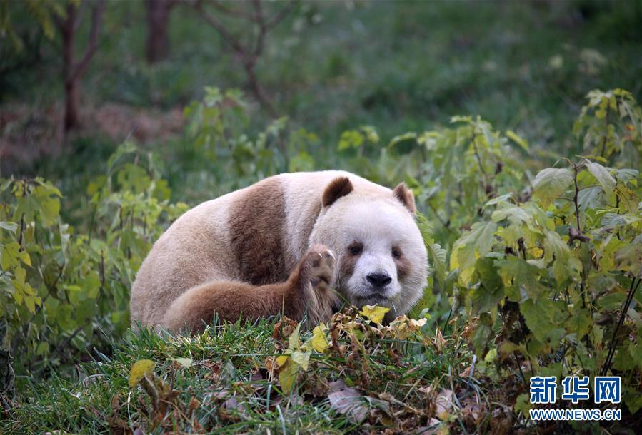 棕色大熊猫被认养怎么回事 棕色大熊猫被认养什么情况(图2)