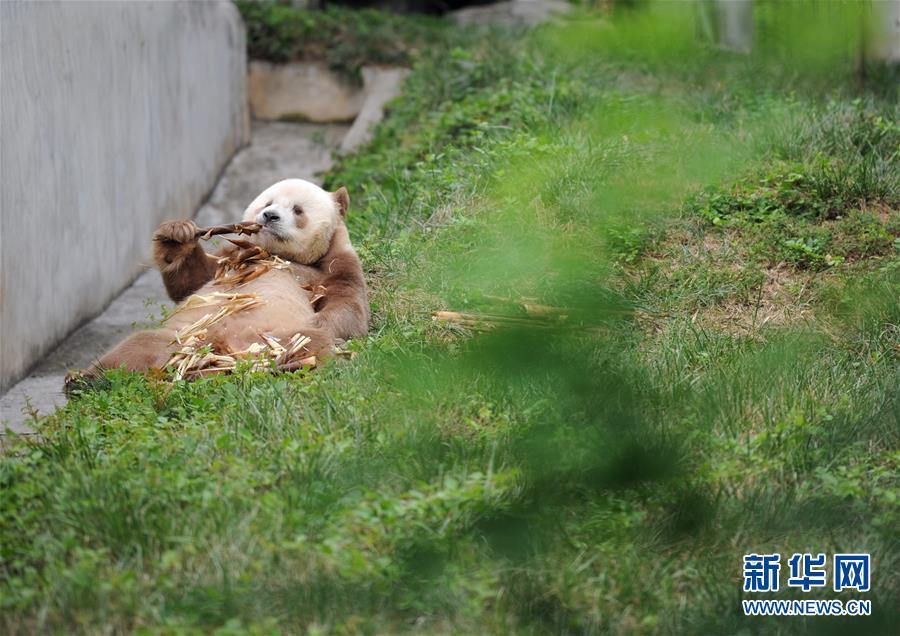 棕色大熊猫被认养怎么回事 棕色大熊猫被认养什么情况(图5)