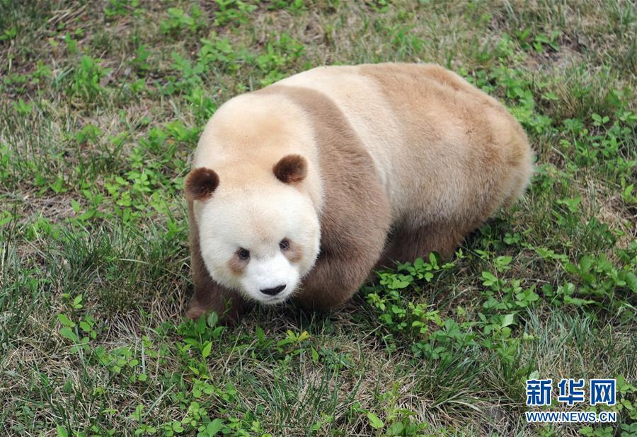 棕色大熊猫被认养怎么回事 棕色大熊猫被认养什么情况(图3)