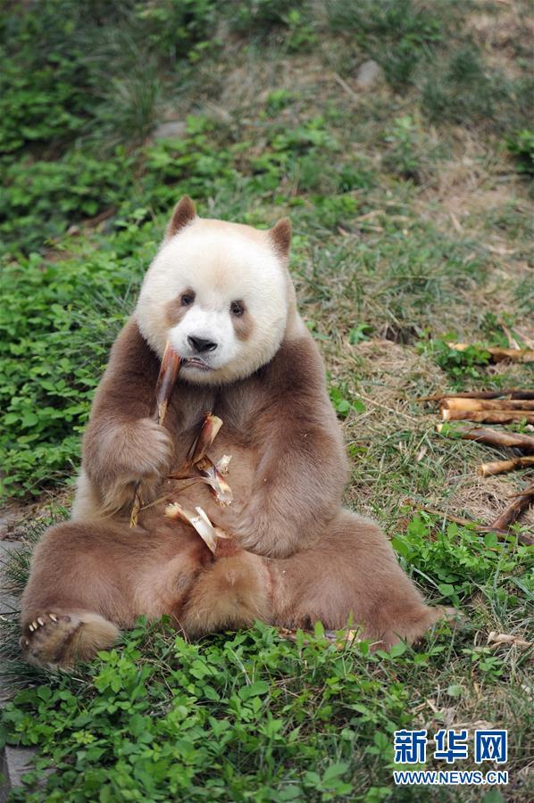 棕色大熊猫被认养怎么回事 棕色大熊猫被认养什么情况(图7)