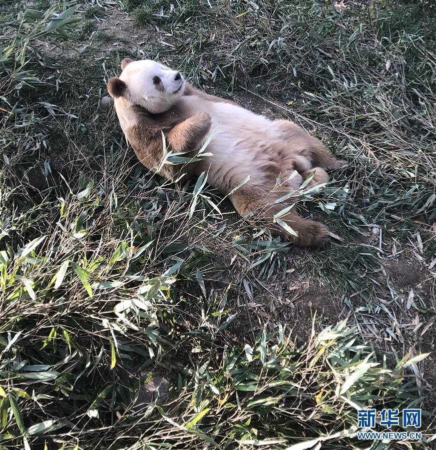 棕色大熊猫被认养怎么回事 棕色大熊猫被认养什么情况(图9)