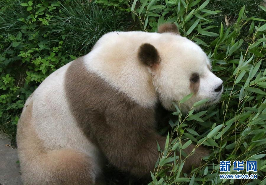棕色大熊猫被认养怎么回事 棕色大熊猫被认养什么情况(图6)