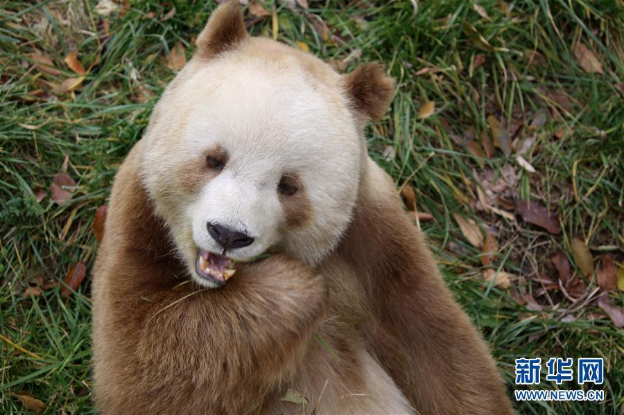 棕色大熊猫被认养怎么回事 棕色大熊猫被认养什么情况(图8)